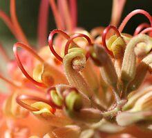 Grevilleas in Bloom by Joy Watson