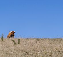 Cows 11 by Yanni