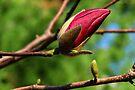 Magnolia by LudaNayvelt