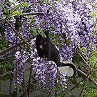 Hiding in the Wisteria by Carole Boyd