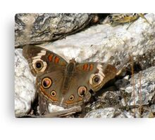 Butterfly ~ Common Buckeye Canvas Print