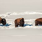 American Bison Searching for Food in the Snow by Sue Smith