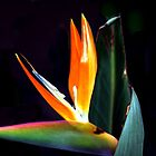 Bird Of Paradise by Deborah Jones