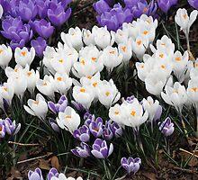 Crocus Spring by Sarah McKoy