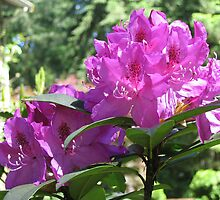 Magenta Rhododendron by Pat Yager