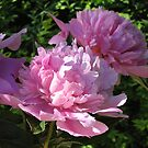Perfect Peonies by Pat Yager