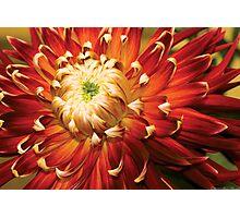 Dahlia - Nature's Radiance Photographic Print