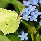 Brimstone Flutterby by Astrid Ewing Photography
