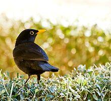 Blackbird by tarnyacox