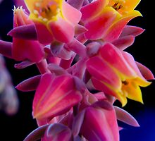Attractive Succulent by Tim O'Neil