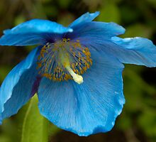 Meconopsis by laurav