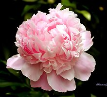 Peony ~ You Are the Dancing Queen! by SummerJade
