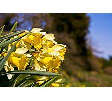 Trumpeting daffodils Photographic Print