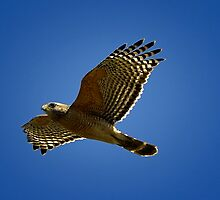 Red Shoulder Hawk by caroleann1947