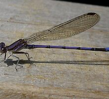 Blue Needle Dragonfly by Margie Avellino