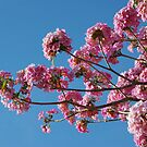 Tabebuia Rosea by Rainy