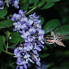 Hummingbird Moth by Cathy Jones