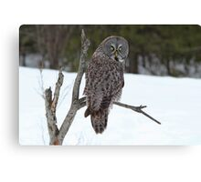 Magnificent Great Grey Owl Canvas Print