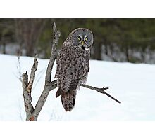 Magnificent Great Grey Owl Photographic Print