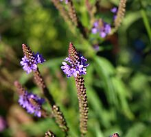 Blue Vervain by christielynne