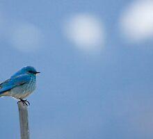 Bluebirds Return to Jackson Hole by A.M. Ruttle