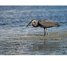Blue Heron with Fish Photographic Print