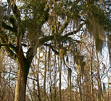 Spanish Moss by Celticcatphotos