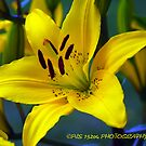 Yellow Lilly by PJS15204