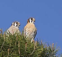 Mated Kestrels by tomryan