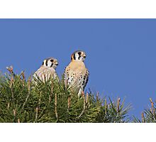 Mated Kestrels Photographic Print