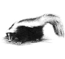 Another Skunk Photographic Print