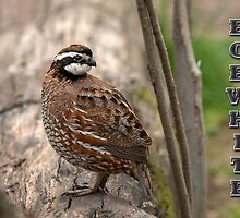 Bobwhite II by Bonnie T.  Barry