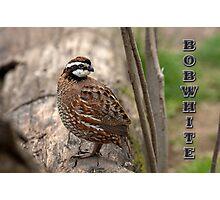 Bobwhite II Photographic Print