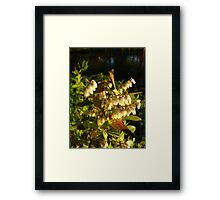 HIGH BUSH BLUEBERRY Framed Print