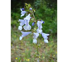 LYRE LEAF SAGE - A BEAUTIFUL FLORIDA WILDFLOWER Photographic Print