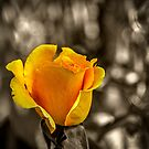 Yellow Rose by Roger Passman