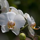 White Orchid by Brenda Dow