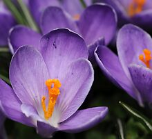 Woodland Crocuses by PamelaJoPhoto