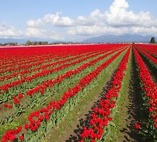 Tulip Fields by Tracy Friesen