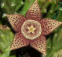 Cactus flower  STAPELIA VARIEGATA by redkitty