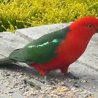 Australian King Parrot  by Roz McQuillan