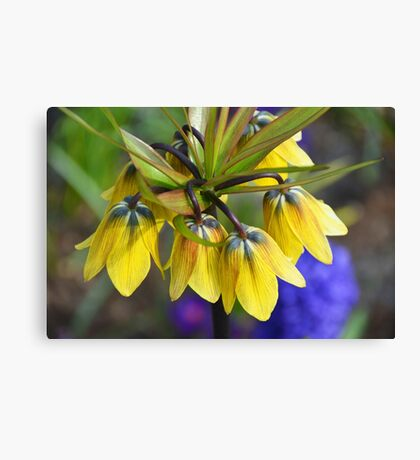 Crown imperial flower (yellow, blue, orange) Canvas Print
