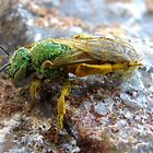 Metallic Green Bee ~ Male by Kimberly Chadwick
