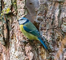 Blue Tit In Tree by jboffinphoto