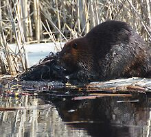 Busy Beaver by Lee-Ann Gavin
