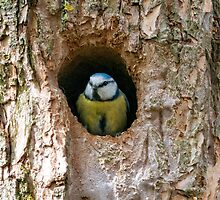 Blue Tit Peeking Out by jboffinphoto