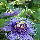 Passionflower by Mike Shell