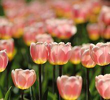 Tulips by ErinCrossman