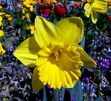My favorite daffodil by daffodil