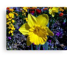 My favorite daffodil Canvas Print